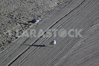 Two lonely seagulls on cleaned by a tractor sand on the Mediterranean Sea