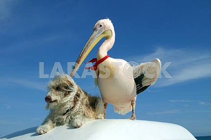 Pelican and a dog