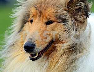 Portrait Collie