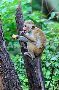 Macaca in Sri Lanka