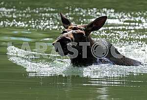 Elk floats