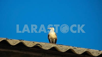 Seagull sits at the roof of the house