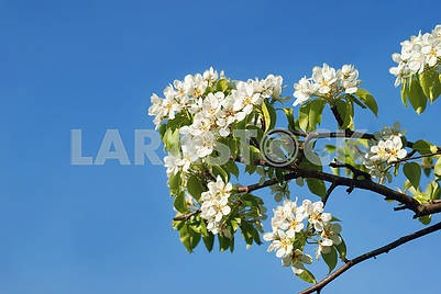 Blooming in May apple tree against a background of clear sky