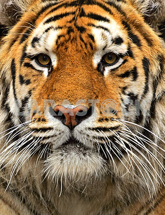 Portrait of the Amur Tiger