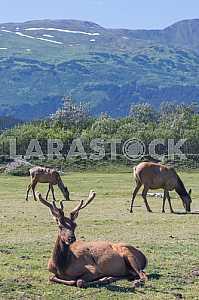 Reindeer - cloven-hoofed mammal of the family Oleneva