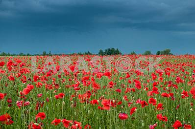 Red blooming poppy, huge field of blossoming flowers