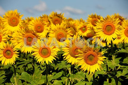 Sunflowers on an early morning in a field