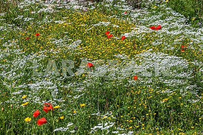 Red poppy and chamomile