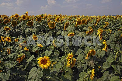 Flowering sunflowers in the field