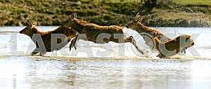 Roe deer in their natural habitat