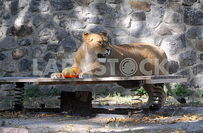 Lioness with pumpkin