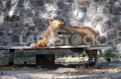 Lioness with pumpkin