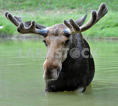 Elk standing in water