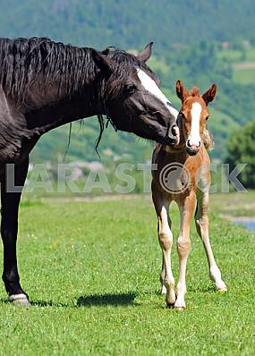 Foal and horse