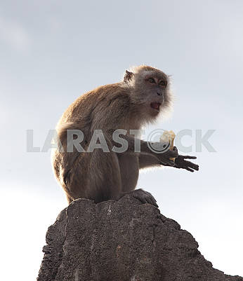Beautiful closeup portrait of one monkey holding food sitting on