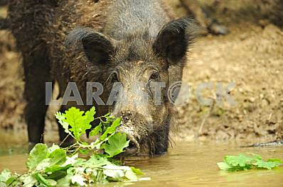 Wild boar at the pond