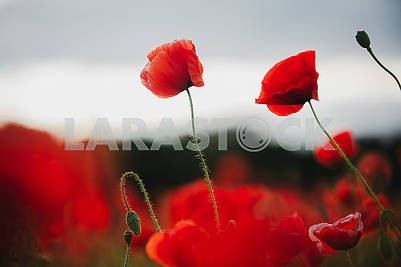 the flowers - a poppy in the field. the dark sky
