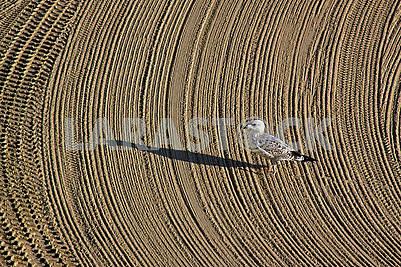 Самотгя чайка на очищеному трактором піску на середземноморському пляжі