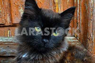 Long haired young beautiful cat