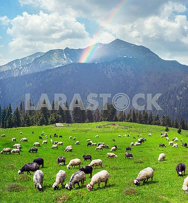 sheep on the mountain Pip Ivan Marmarosh