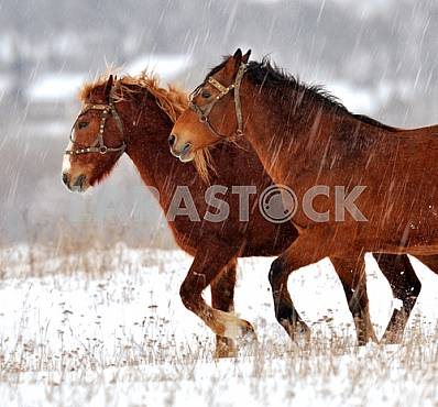 Bay horses are on the snow