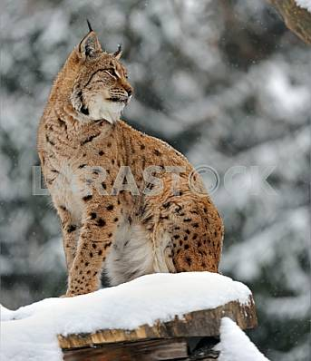 Portrait of a Lynx