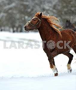 Bay horse. Winter