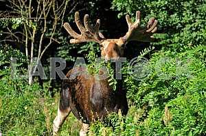 Elk chews acacia bush
