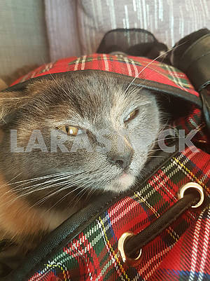 Grey Cat in Bag