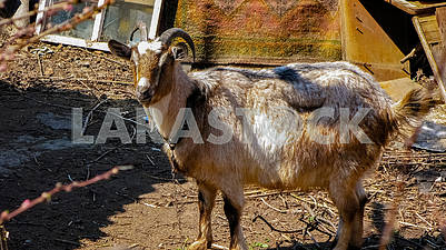 Lovely gray domestic goat