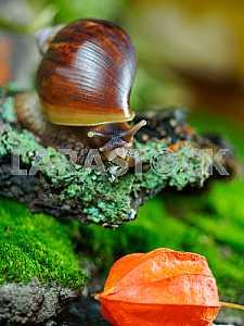 Snail Achatina and box Physalis