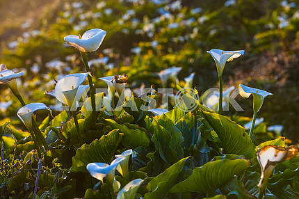 Growing snowy white calla