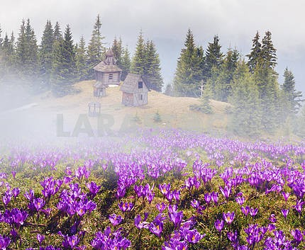 Crocuses and the Temple