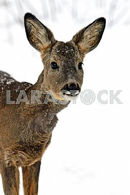 Roebuck in winter