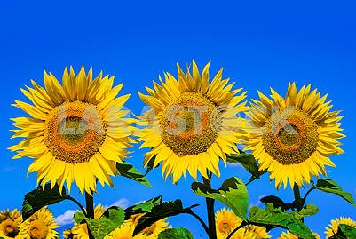 Three large flowers of sunflower