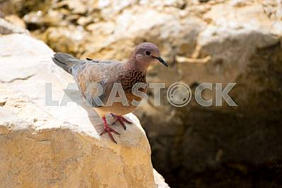 Laughing Dove(Streptopelia senegalensis) on the stone