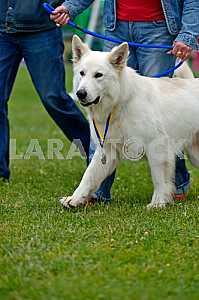 Swiss Shepherd dog