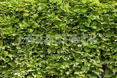 Hedge of bushes