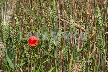 Red poppy in a field of green wheat and rye