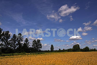 A beautiful country landscape with a wheat fields