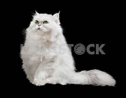 Cute furry white cat with long furry tail, isolated