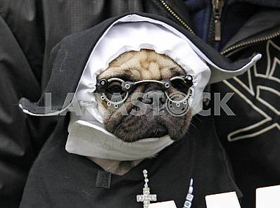 Portrait of pug dressed in a nun's costume