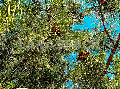 Pine branches with cones on a background of blue sky