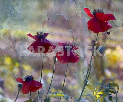 Four scarlet poppies, poppy boxes, a flying bee. Processing under the water color.