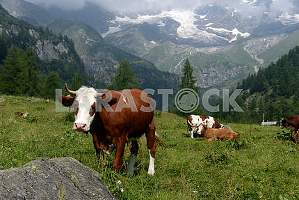 Cows grazing on a green pasture
