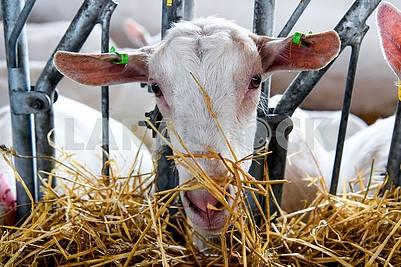 The goat chews hay
