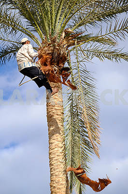 The worker cuts off palm branches