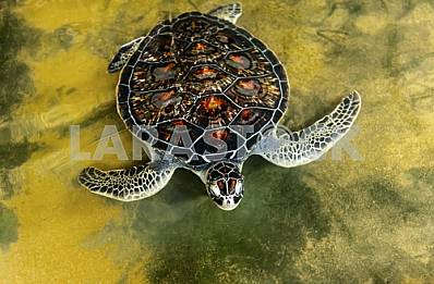 Ocean Turtle in water