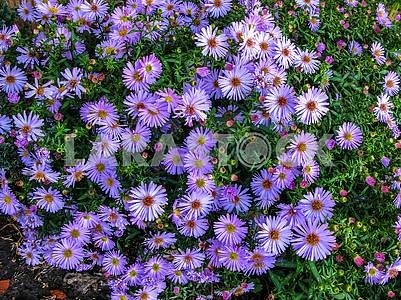 Alpine Aster (Aster alpinus) . Decorative garden plant with purp
