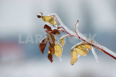 Icing Leaflets rosehip on a branch covered with ice on a blue sky background